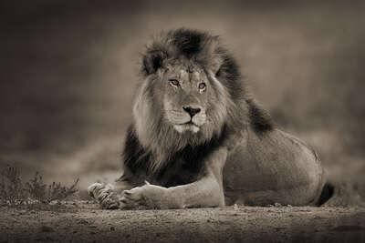 12 Relaxed Male Lion by Horst Klemm