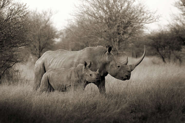White Rhino Mother with Baby de Horst Klemm
