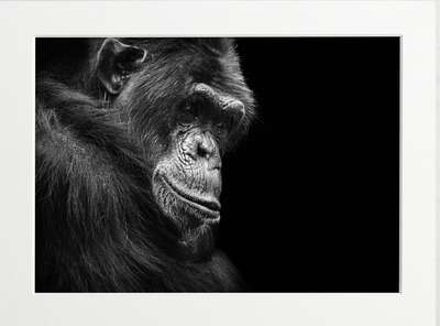 Contemplative Chimpanzee by Art Now Collection