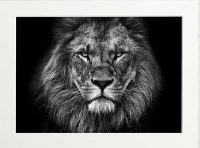 Kingly Lion by Art Now Collection