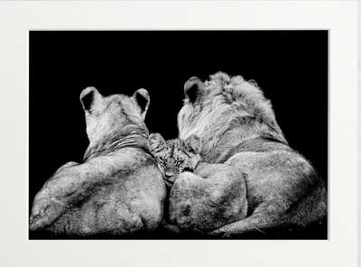 Lying Lion Family by Art Now Collection
