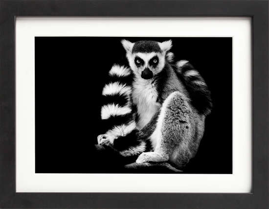 Striped-Tail Lemur by Art Now Collection