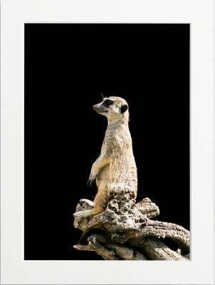 Smiling Meerkat by Art Now Collection