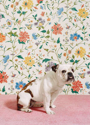 Bulldog 1 by Catherine Ledner