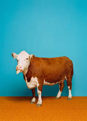 Cow 1 by Catherine Ledner
