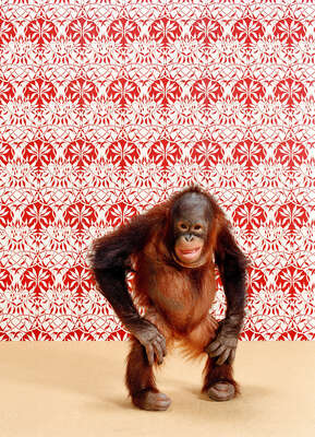Animal Art Prints: Orangutan 6 by Catherine Ledner