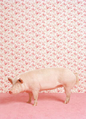 Pig 1 by Catherine Ledner