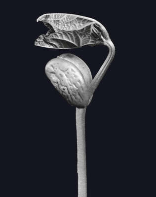 "Vintage Photography: ""Keimpflanze (Fabaceae)"" by Fred Koch"