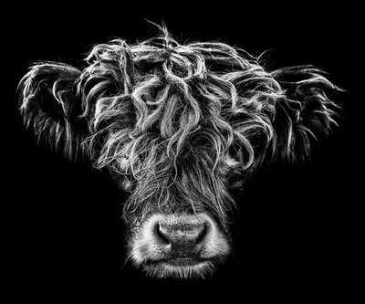 wall art wildlife prints animals  Highlander II by Claudio Gotsch