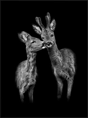 wall art wildlife prints animals  Der Kuss by Claudio Gotsch