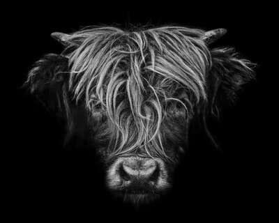 wall art wildlife prints animals  Highlander by Claudio Gotsch