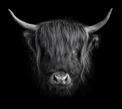 animal wall art:  Hochlandrind III by Claudio Gotsch