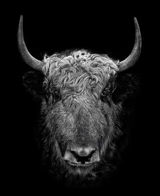Portrait Painting  YAK II by Claudio Gotsch