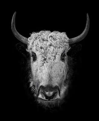 animal wall art:  YAK III by Claudio Gotsch
