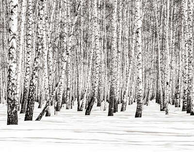 Winter Birches by Classic Collection Ill