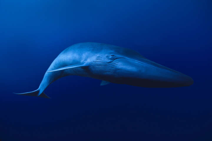 Blue Whale, Balaenoptera musculus, California by David Fleetham