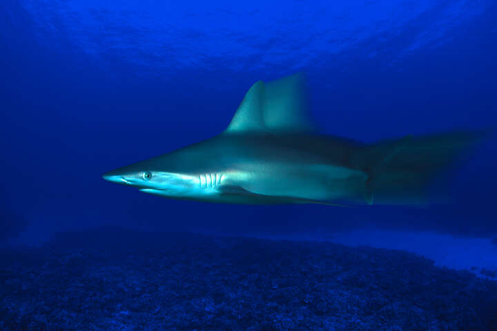 Grey Reef Shark, Carcharhinus Amblyrhynchos, Hawaii by David Fleetham