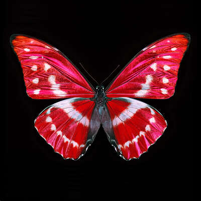 Gifts for Nature Lovers: Butterfly X by Heiko Hellwig