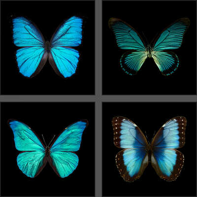 animal wall art:  Butterfly Grid blue by Heiko Hellwig