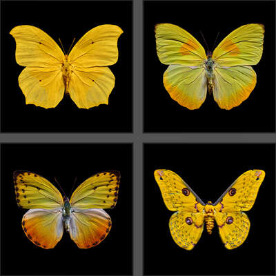animal wall art:  Butterfly Grid yellow by Heiko Hellwig