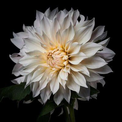 Wall Art: Dahlia by Heiko Hellwig