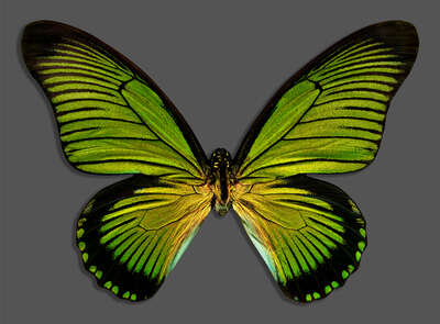 animal wall art:  Butterfly XIII by Heiko Hellwig