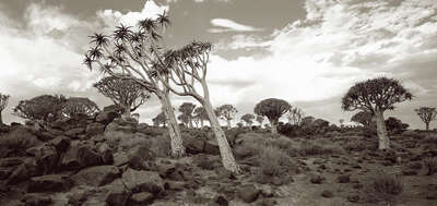 Quiver Trees, Southern Namibia by Horst Klemm