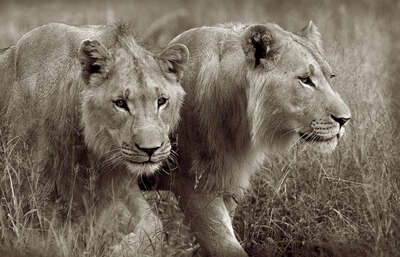Young male lions by Horst Klemm