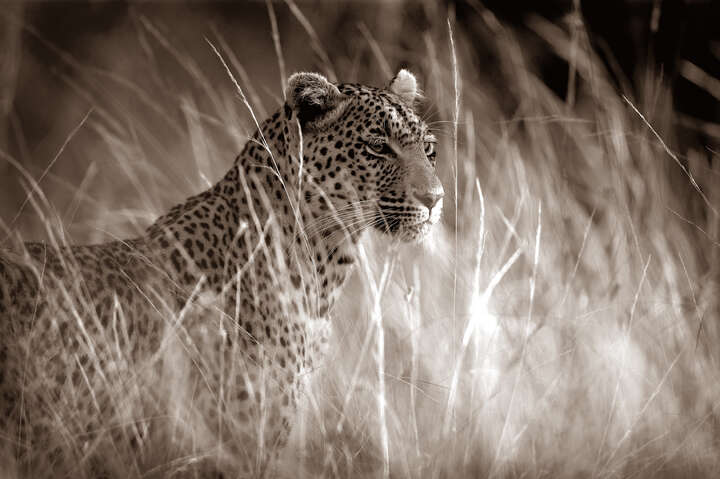 Leopard in high grass by Horst Klemm