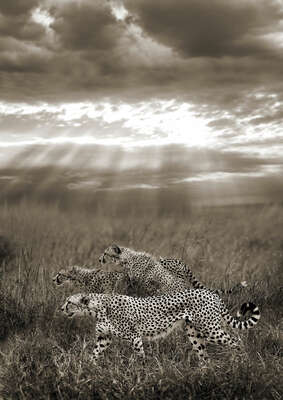 Nature Art: Cheetahs hunting, Serengeti, Tanzania by Horst Klemm