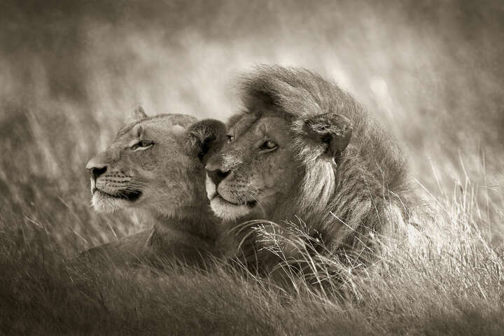 Lion Couple by Horst Klemm