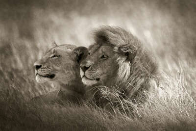 Lion Couple de Horst Klemm