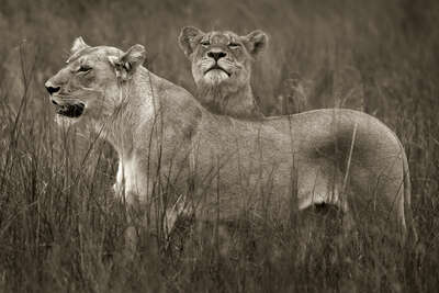 Lion sisters by Horst Klemm