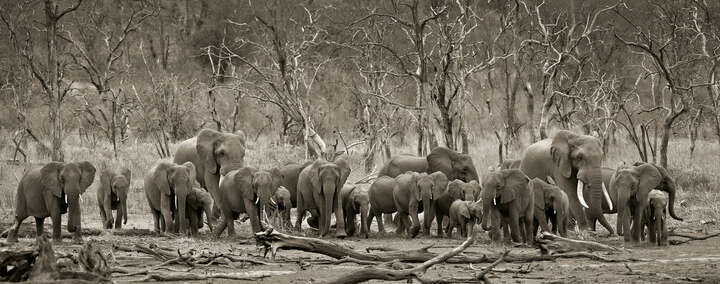 Elephant herd & logs by Horst Klemm