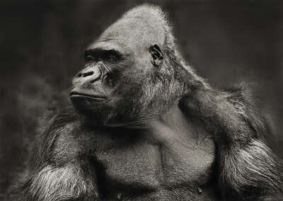 black and white art: Gorilla by Horst Klemm