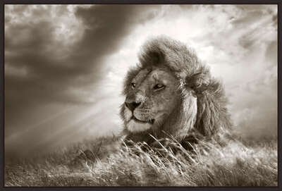 Lion King by Horst Klemm