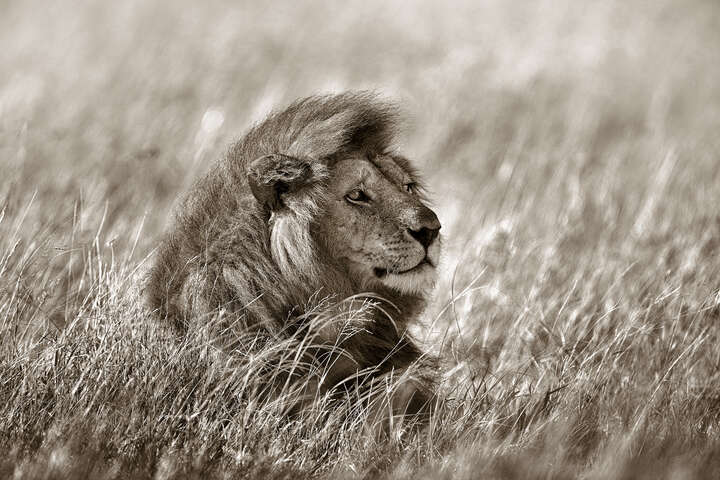 Lion in Grass by Horst Klemm