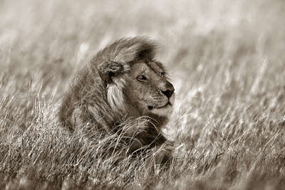 Lion in Grass von Horst Klemm