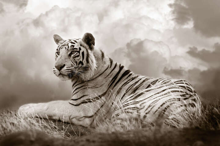 Tiger Queen by Horst Klemm