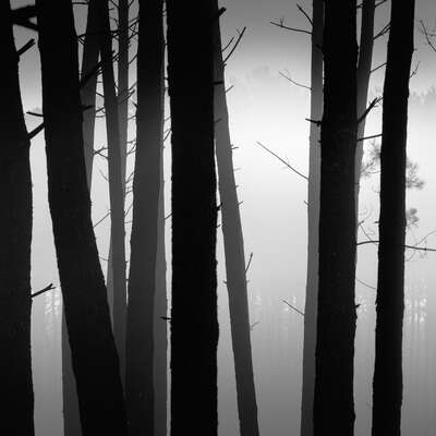 Maritime pine forest by Jonathan Chritchley