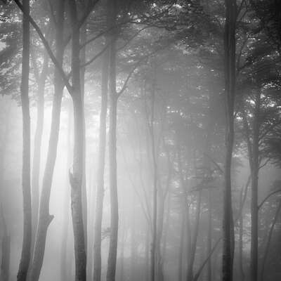 Popular Black and White Prints: Beech Tree Forest, Pyrenees, Study 1 by Jonathan Chritchley
