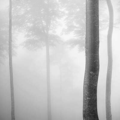 curated black and white art: Beech Tree Forest, Pyrenees, Study 2 by Jonathan Chritchley