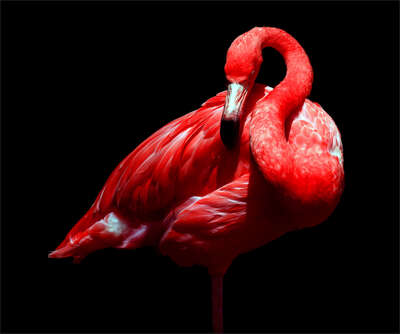 abstract photography:  Caribbean Flamingo by Juan Fortes