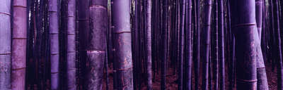 forest photography Bambus (Arashiyama) by Farin Urlaub