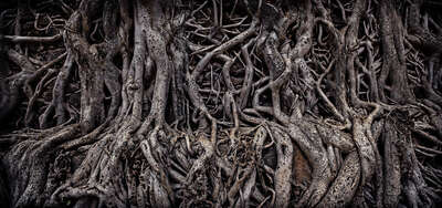 Banyan Tree by Farin Urlaub