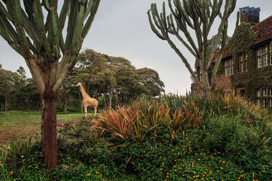 Giraffe Manor #14