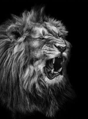 Popular Black and White Photography: Lion by Mikhail Kirakosyan