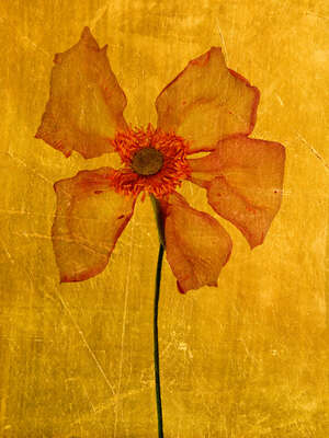 Floral Art Prints: Bestsellers: Aurum IV by Michael Wissing