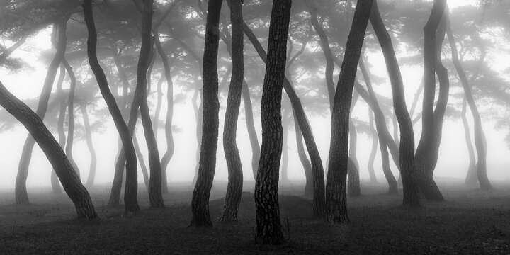 Pine Forest III by Nathaniel Merz