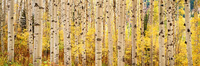 forest photography Aspens Rise by Steven Friedman